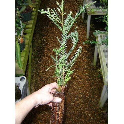 Nicely Started California Redwood Tree 16 Inches High Buy Products Online With Ubuy Lebanon In Affordable Prices B003zj75ho